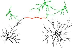 Dendriten – Gehirn
