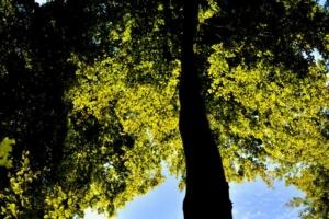 Baum Blätter blauer Himmel Gegenlicht