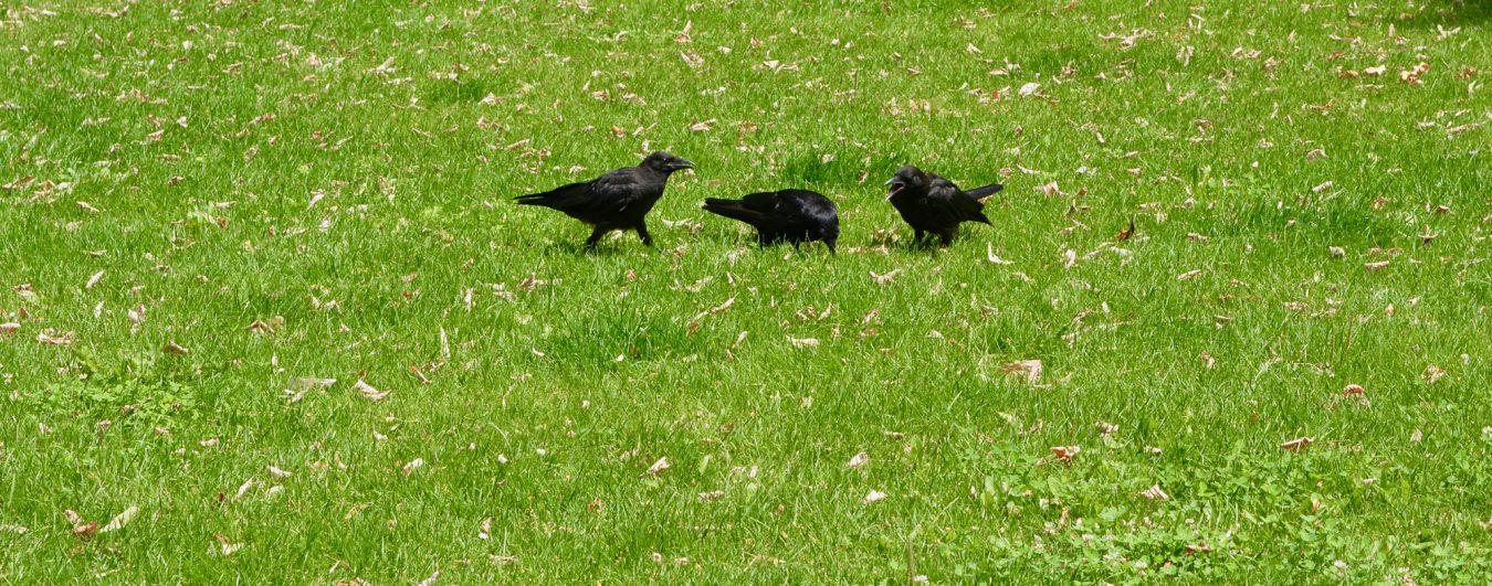 Drei Raben im Park